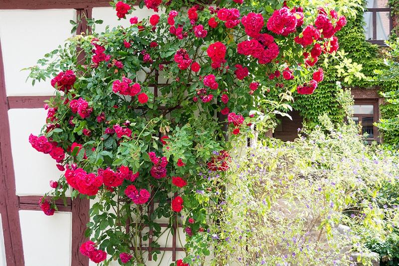 rote Rosen Hochzeit
